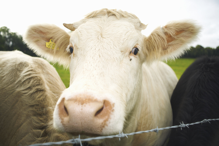 Cows Peeking Out From Wire Fence Stock Photo, Picture And Royalty ...