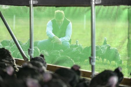 tend: Farmer feeding turkeys outside barn