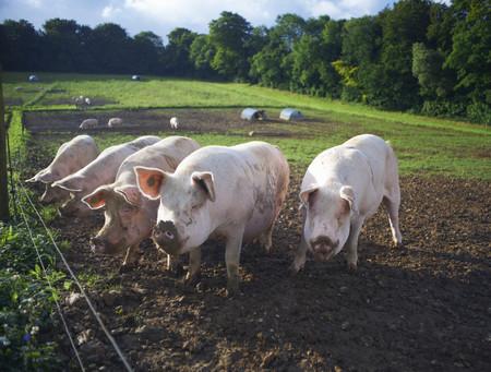 dirtied: Pigs rooting in dirt field