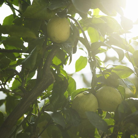 close up food: Close up of fruit in tree