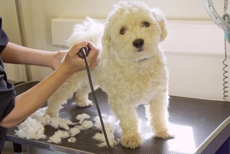 groomer: Groomer shaving terriers coat LANG_EVOIMAGES