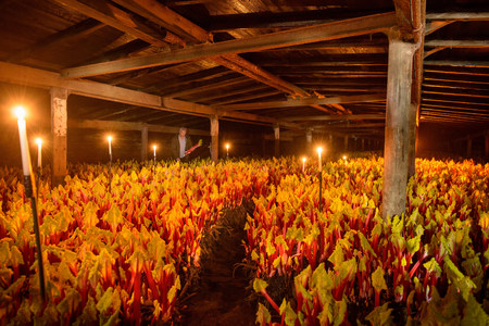 candlelit: Rhubarb growing in candlelit barn LANG_EVOIMAGES