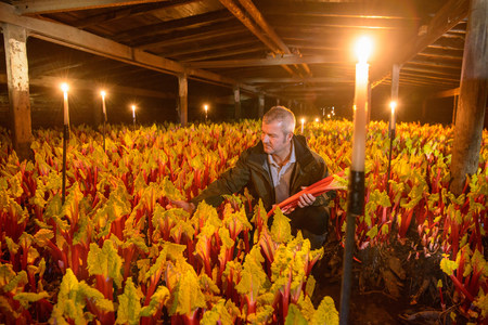 Farmer picking rhubarb in candlelit barn LANG_EVOIMAGES