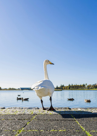 Swan standing on edge of park lake LANG_EVOIMAGES