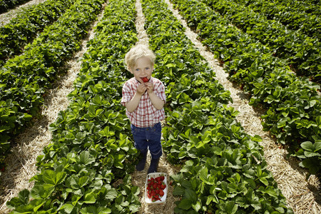 savour: Boy picking strawberries in field