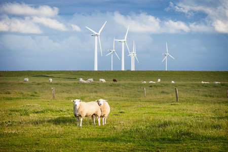 Sheep in field with windfarm,Schleswig Holstein,Germany LANG_EVOIMAGES