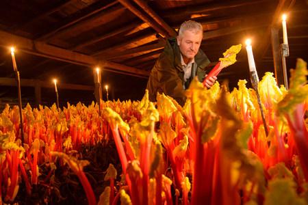 candlelit: Farmer picking rhubarb in candlelit barn LANG_EVOIMAGES