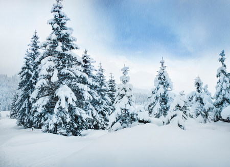 pastoral scenery: Trees in snow LANG_EVOIMAGES