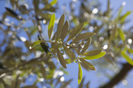 leafed: Close up of olive branch