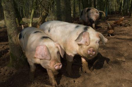 farmyards: Three pigs walking in mud on farm