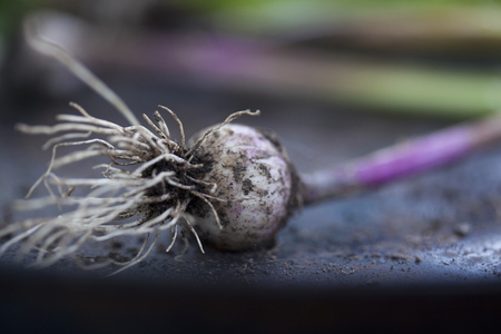 uncomplicated: Close up of garlic bulbs LANG_EVOIMAGES