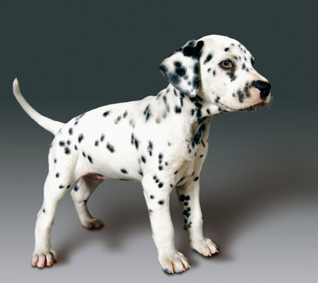 Side view of dalmatian pup LANG_EVOIMAGES