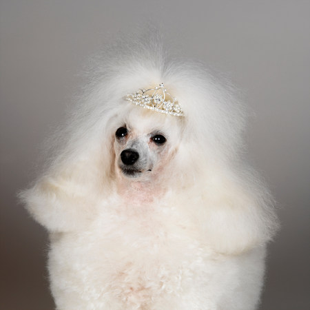 pooches: White Toy Poodle wearing tiara