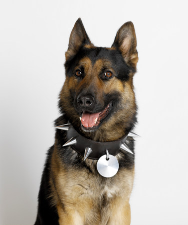 pooches: German Shepherd with spike stud collar