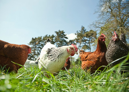 Small group of  free range hens in grass LANG_EVOIMAGES