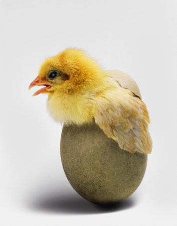 Chick emerging from egg