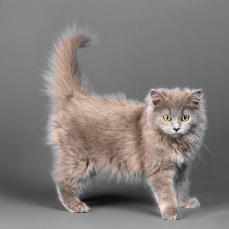 grey eyed: Long haired blue grey kitten