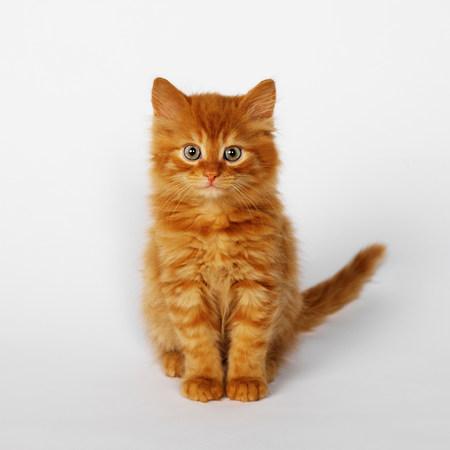 stripy: Portrait of ginger kitten