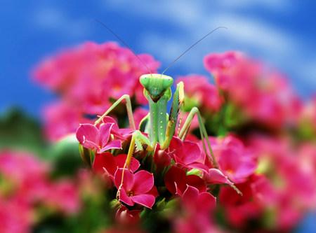 differential: Praying Mantis on pink flower LANG_EVOIMAGES