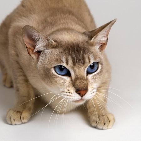 Tonkinese Blue Eyed Caramel crouching