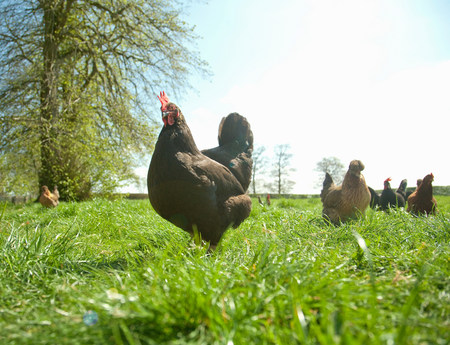 Small group of  free range hens in field