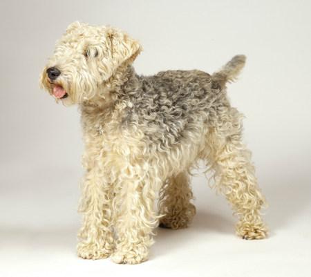 Lakeland Terrier LANG_EVOIMAGES