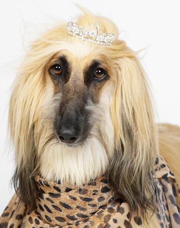 hilarious: Afghan Hound wearing diamond tiara
