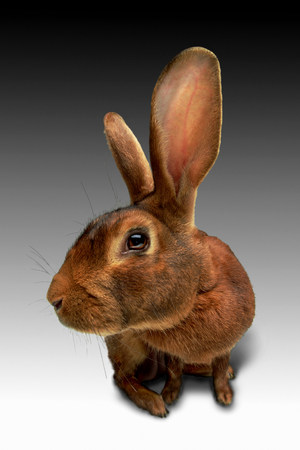 lop eared: Enlarged view of lop eared rabbit