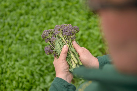 Farmer inspecting organic purple sprouting broccoli,close up