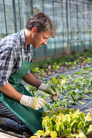 Organic farmer tending young plants in polytunnel