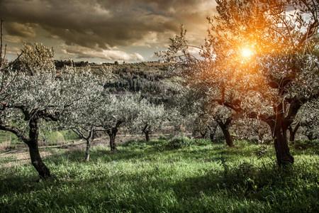Olive trees in Chieti,Abruzzo,Italy