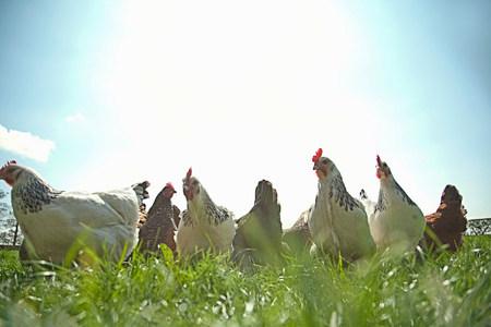 alimentacion balanceada: Grupo medio de gallinas de rango libre en la luz del sol