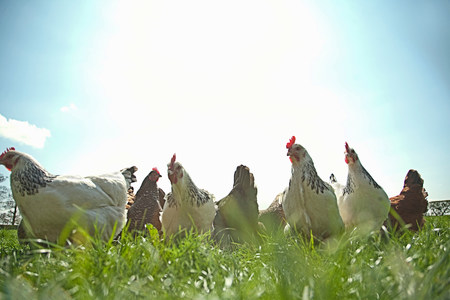 species living: Medium group of  free range hens in sunlight LANG_EVOIMAGES