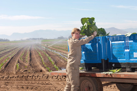 coveralls: Young man loading vegetables onto crates on trailer LANG_EVOIMAGES