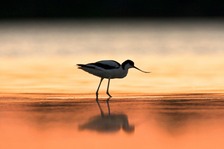 An avocet at dawn,Oristano Region in Sardinia,Italy LANG_EVOIMAGES
