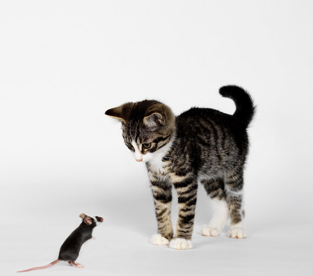 confrontational: Mouse confronting kitten