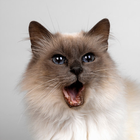 Birman with mouth opened LANG_EVOIMAGES