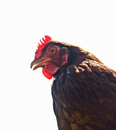 silliness: Head portrait of  free range red hen