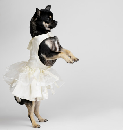 Chihuahua in dress dancing LANG_EVOIMAGES