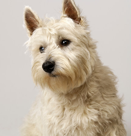 pooches: West Highland Terrier with head to one side LANG_EVOIMAGES