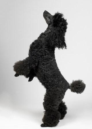 quizzical: Black MIniature Poodle
