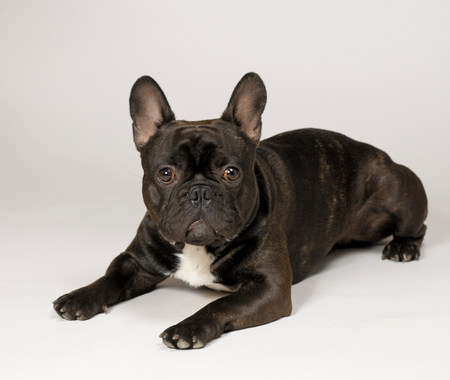 pooches: French Bulldog LANG_EVOIMAGES
