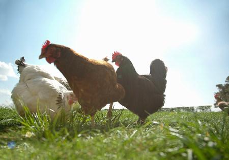 alimentacion balanceada: Pequeño grupo de gallinas de rango libre en la luz del sol