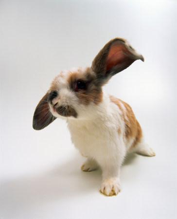 eared: Portrait of lop eared baby rabbit