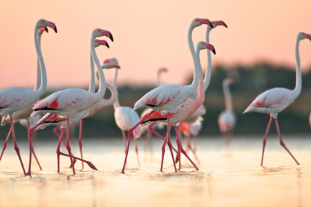 Group of flamingos at dawn,Oristano Region in Sardinia,Italy