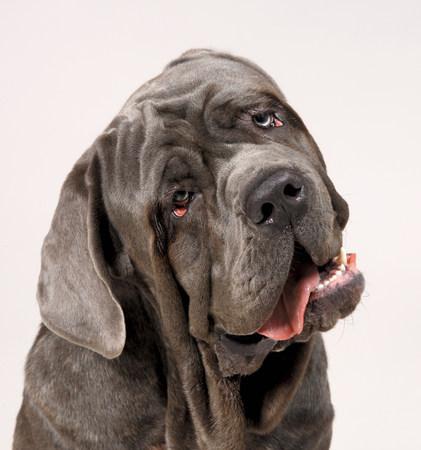 grays: Neapolitan Mastiff with head cocked