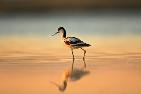 A wading avocet,Oristano Region in Sardinia,Italy LANG_EVOIMAGES