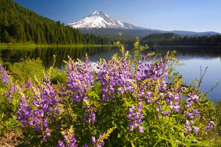 purples: Mount hood and trillium lake