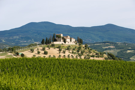 pastoral scenery: Vineyard in siena