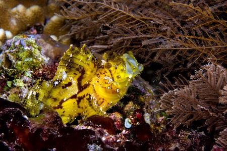 scorpionfish: Fish swallowing prey.